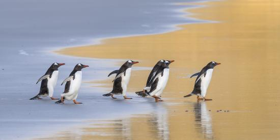Gentoo Penguin Falkland Islands.-Martin Zwick-Photographic Print