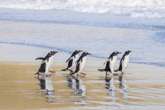 Gentoo Penguin Falkland Islands.-Martin Zwick-Premium Photographic Print