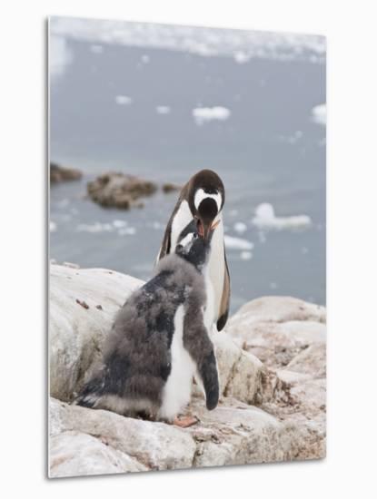 Gentoo Penguin Feeding Chick, Neko Harbour, Antarctic Peninsula, Antarctica, Polar Regions-Robert Harding-Metal Print
