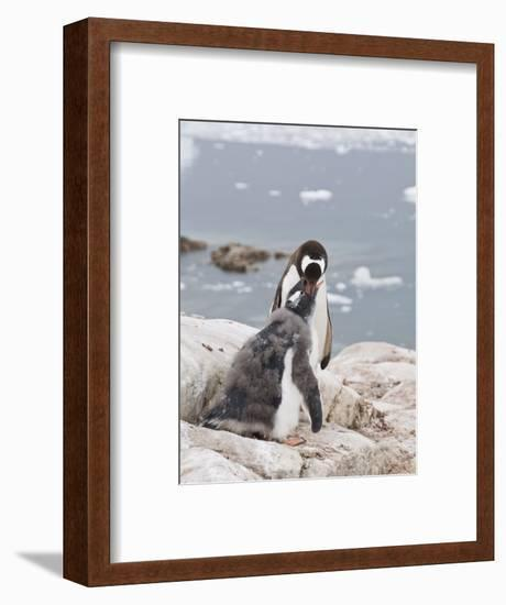 Gentoo Penguin Feeding Chick, Neko Harbour, Antarctic Peninsula, Antarctica, Polar Regions-Robert Harding-Framed Photographic Print