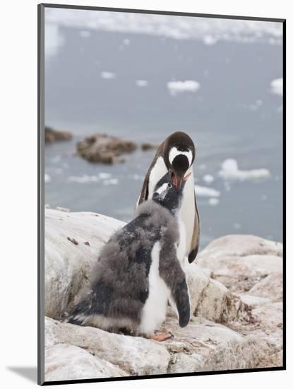 Gentoo Penguin Feeding Chick, Neko Harbour, Antarctic Peninsula, Antarctica, Polar Regions-Robert Harding-Mounted Photographic Print