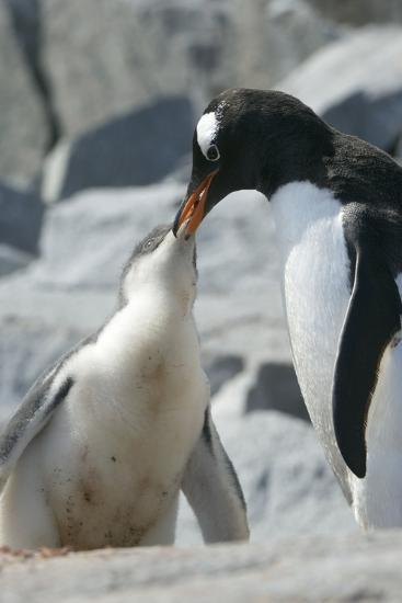 Gentoo Penguin Feeding Chick-Louise Murray-Photographic Print