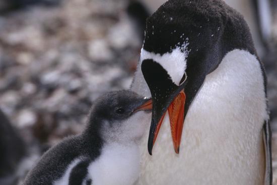 Gentoo Penguin Feeding Chick-DLILLC-Photographic Print