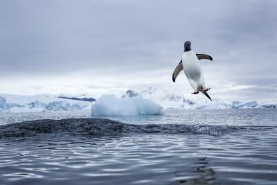 Gentoo Penguin on Cuverville Island, Antarctica-Paul Souders-Photographic Print