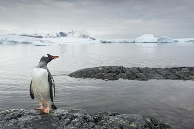 Gentoo Penguin on Cuverville Island, Antarctica-Paul Souders-Photographic Print