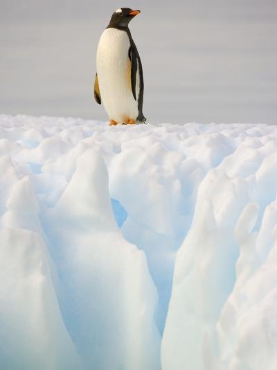 Gentoo Penguin on Ice Floe on the Antarctic Peninsula-John Eastcott & Yva Momatiuk-Photographic Print