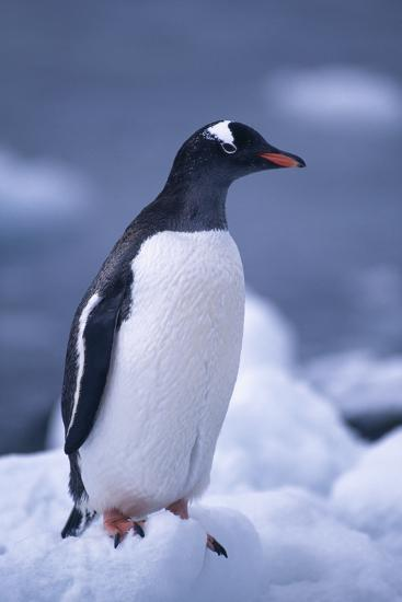 Gentoo Penguin on Ice-DLILLC-Photographic Print