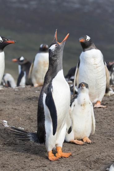 Gentoo Penguin on the Falkland Islands, Half Grown Chick with Parent-Martin Zwick-Photographic Print