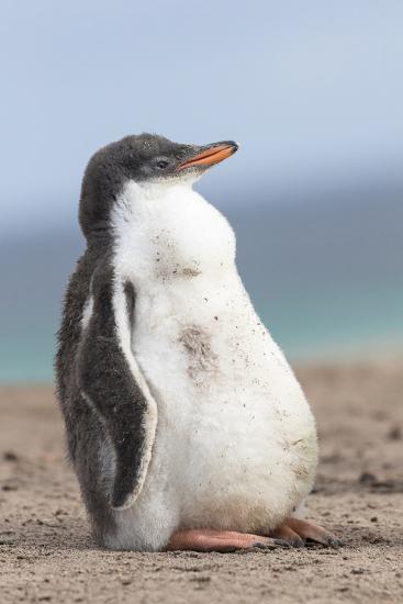 Gentoo Penguin on the Falkland Islands, Half Grown Chicks-Martin Zwick-Photographic Print