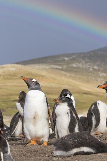 Gentoo Penguin on the Falkland Islands, Rookery under a Rainbow-Martin Zwick-Photographic Print