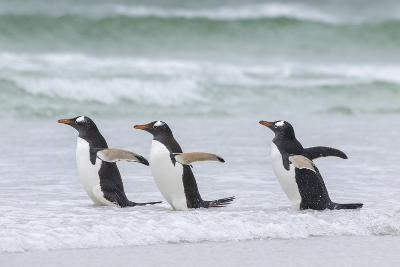 Gentoo Penguin on the Falkland Islands, Walking into the Surf-Martin Zwick-Photographic Print