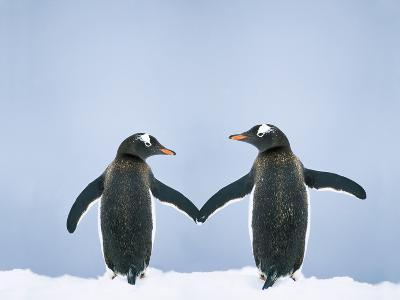 Gentoo Penguin Pair 'Holding Hands'--Photographic Print