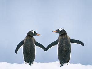 Gentoo Penguin Pair 'Holding Hands'