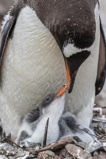 Gentoo Penguin (Pygoscelis Papua) Adult on Nest-Michael Nolan-Photographic Print