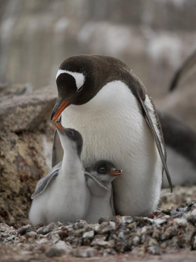 Gentoo Penguin, Pygoscelis Papua, and Chicks at Port Lockroy-Joel Sartore-Photographic Print