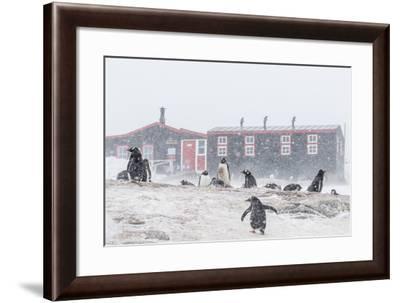 Gentoo Penguin (Pygoscelis Papua) Breeding Colony in Snow Storm at Port Lockroy, Antarctica-Michael Nolan-Framed Photographic Print