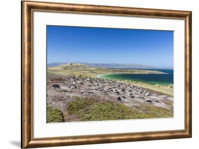 Gentoo penguin (Pygoscelis papua) breeding colony on the slopes of Carcass Island, Falkland Islands-Michael Nolan-Framed Photographic Print