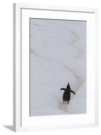 Gentoo Penguin (Pygoscelis Papua) Climbing Penguin Highway on Cuverville Island, Antarctica-Michael Nolan-Framed Photographic Print
