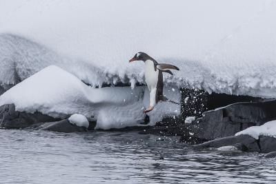 Gentoo Penguin (Pygoscelis Papua) Leaping into the Sea at Booth Island, Antarctica, Polar Regions-Michael Nolan-Photographic Print