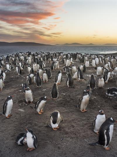 Gentoo Penguin (Pygoscelis Papua) on the Falkland Islands, Rookery-Martin Zwick-Photographic Print