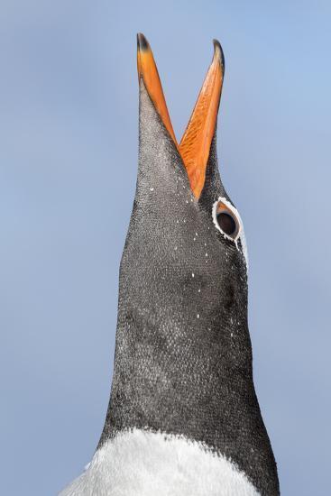 Gentoo Penguin (Pygoscelis Papua) on the Falkland Islands-Martin Zwick-Photographic Print