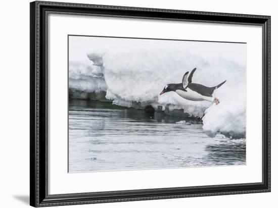 Gentoo Penguin (Pygoscelis Papua) Returning to the Sea to Feed at Dorian Bay, Antarctica-Michael Nolan-Framed Photographic Print