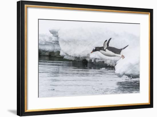 Gentoo Penguin (Pygoscelis Papua) Returning to the Sea to Feed at Dorian Bay, Antarctica-Michael Nolan-Framed Photographic Print