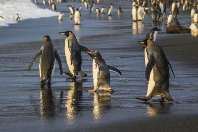 Gentoo Penguin (Pygoscelis Papua), South Georgia, Polar Regions-Michael Nolan-Photographic Print