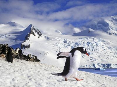 Gentoo Penguin (Pygoscelis Papua) Waddles Toward the Arctic Sea Near Paradise Harbor, Antarctica-Miva Stock-Photographic Print