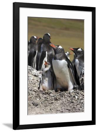 Gentoo Penguin Rookery. West Point Island. Falkland Islands.-Tom Norring-Framed Photographic Print