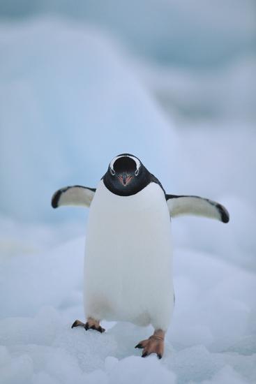 Gentoo Penguin Running-DLILLC-Photographic Print