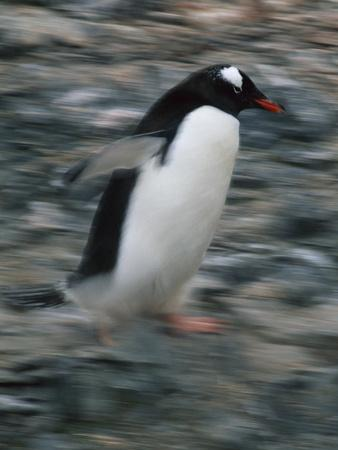 https://imgc.artprintimages.com/img/print/gentoo-penguin-running_u-l-pzrql90.jpg?p=0