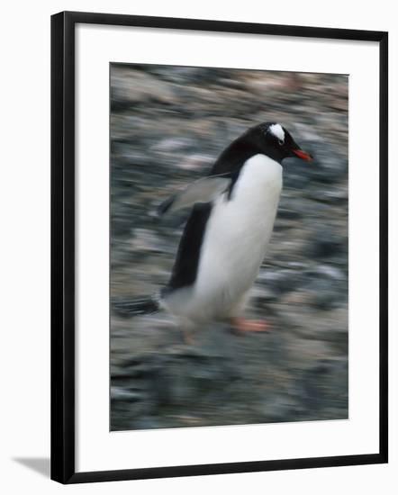 Gentoo Penguin Running-DLILLC-Framed Photographic Print