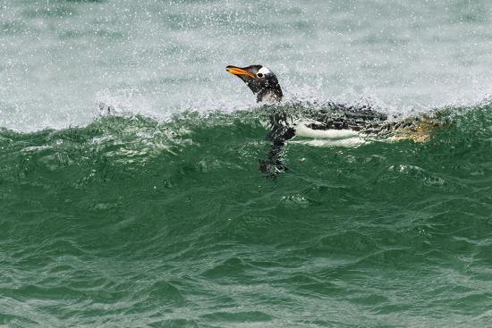 Gentoo Penguin swimming, Falkland Islands-Adam Jones-Photographic Print