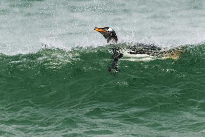 https://imgc.artprintimages.com/img/print/gentoo-penguin-swimming-falkland-islands_u-l-q1dh5qg0.jpg?p=0
