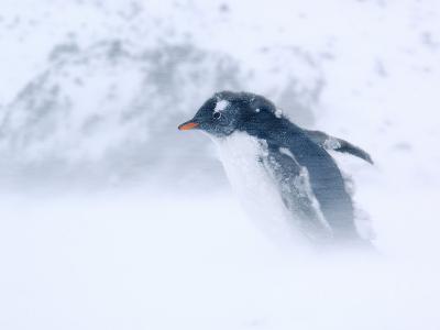 Gentoo Penguin Walking Through Snow Storm, Antarctica-Edwin Giesbers-Photographic Print