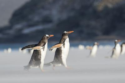 Gentoo Penguin Walking to their Rookery, Falkland Islands-Martin Zwick-Photographic Print