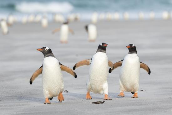 Gentoo Penguin Walking to their Rookery, Falkland Islands-Martin Zwick-Premium Photographic Print