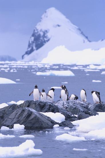 Gentoo Penguin-DLILLC-Photographic Print