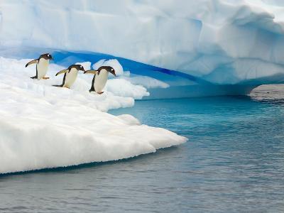 Gentoo Penguins Contemplating Jumping into Gerlache Strait-John Eastcott & Yva Momatiuk-Photographic Print