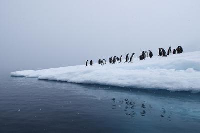 Gentoo Penguins Gather on Ice-Jim Richardson-Photographic Print