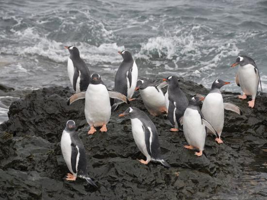 Gentoo Penguins, Hannah Point, Livingstone Island, South Shetland Islands, Polar Regions-Robert Harding-Photographic Print