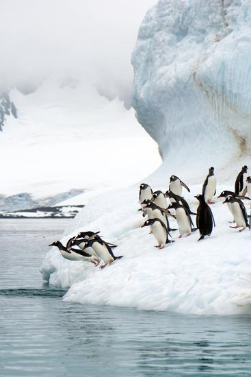 Gentoo Penguins Jumping Into the Sea-Louise Murray-Photographic Print