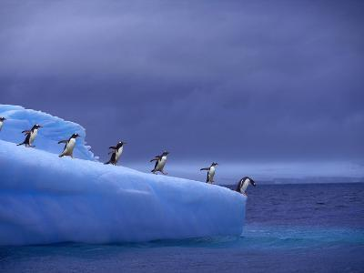 Gentoo Penguins on Iceberg--Photographic Print