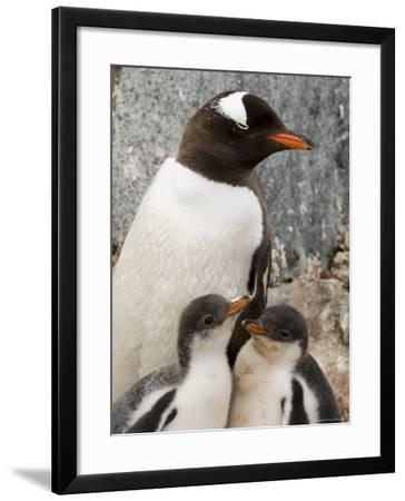 Gentoo Penguins, Petermann Island, Lemaire Channel, Antarctic Peninsula, Antarctica, Polar Regions-Sergio Pitamitz-Framed Photographic Print