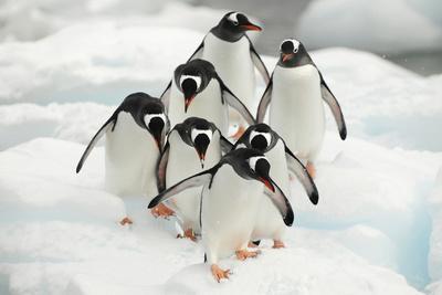 https://imgc.artprintimages.com/img/print/gentoo-penguins-pygoscelis-papua-group-walking-along-snow-cuverville-island_u-l-q13a6zf0.jpg?p=0