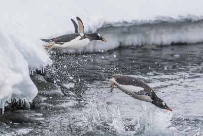 Gentoo Penguins (Pygoscelis Papua) Leaping into the Sea at Booth Island, Antarctica, Polar Regions-Michael Nolan-Photographic Print