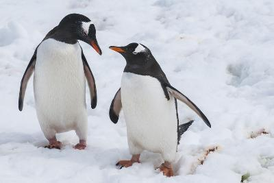 Gentoo Penguins (Pygoscelis Papua), Mikkelson Island, Antarctica, Polar Regions-Michael Runkel-Photographic Print