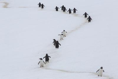 Gentoo Penguins Walk a Penguin Highway from Rookery to Sea, and Back, to Avoid Sinking into Snow-Kent Kobersteen-Photographic Print