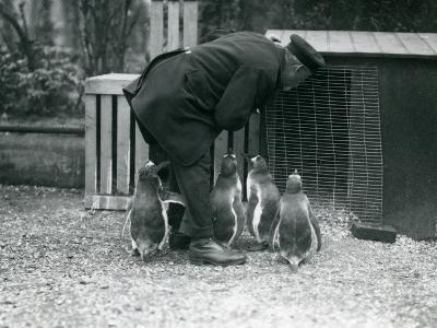 Gentoo Penguins with Keeper Albert White, London Zoo, C.1914-Frederick William Bond-Photographic Print